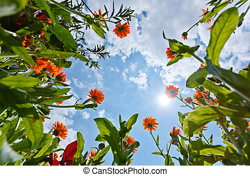 Calendula flowers and sky