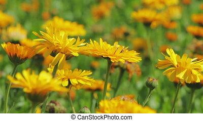 Calendula flowers close-up