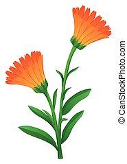 Calendula flowers in orange color illustration