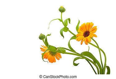Calendula flowers in white background