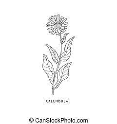 Calendula Hand Drawn Realistic Sketch - Calendula Medical...