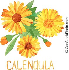Flowers and leaves of calendula. vector illustration