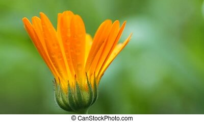 Calendula herb plant blossom and sunlight