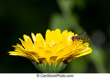 calendula, hoverfly