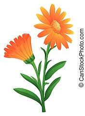 Calendula in orange color illustration