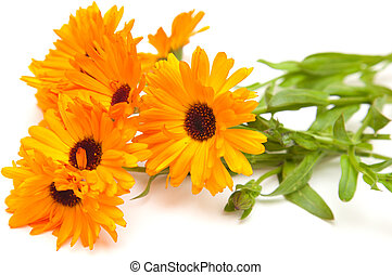 calendula isolated - calendula flowers isolated on white...