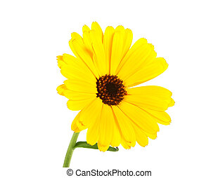 Calendula. Marigold flower with leaves isolated on a white background.