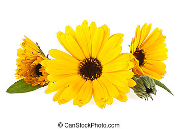 Calendula. Marigold flower with leaves isolated on a white background