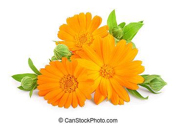 Calendula. Marigold flower with leaves isolated on white background