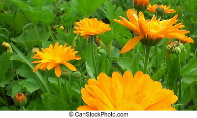 Calendula marigold medical flowers blossoms Slider