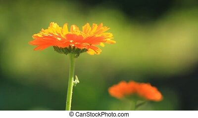 Calendula medical flowers