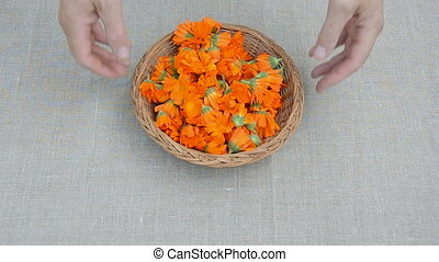 calendula medical herb blossoms