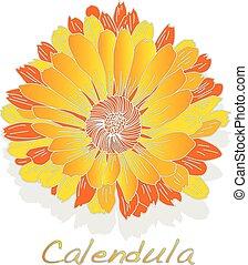 Calendula. Medical herb illustration isolated on white.