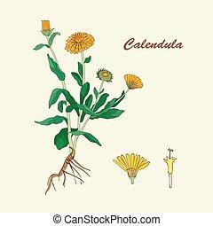 Botanical illustration of the flower of calendula.