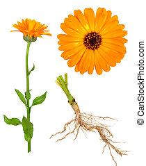 calendula, medizinisch, plant.