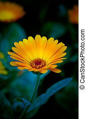 calendula, mystérieux, romantique, fleur, fond