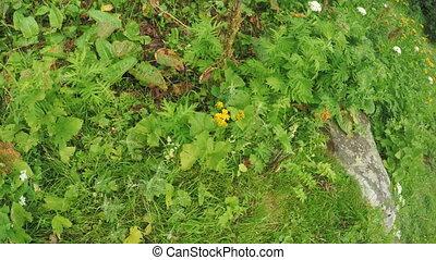 Calendula officinalis in an alpine meadow