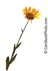 Calendula officinalis in herbarium - Pressed and dried ...