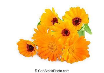 calendula, orange, blanc, bouquet, fleurs, fond, isolé