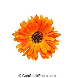 Calendula orange with dark core