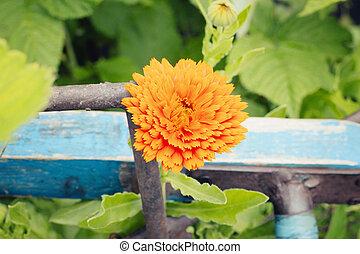 calendula, sola flor
