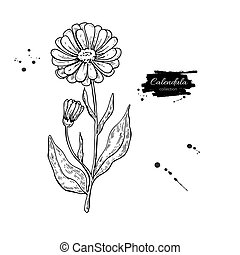 Calendula vector drawing. Isolated medical flower and leaves...
