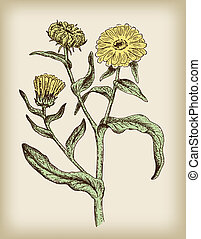 Calendula. Vector illustration.