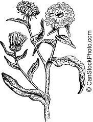 Calendula. Vector illustration.