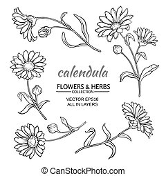 calendula vector set - calendula flowers vector set on white...