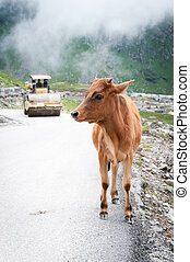 Calf and roller compactor on mountain road - Calf on ...