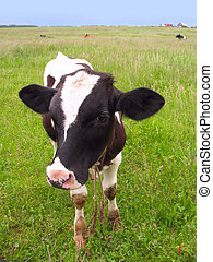 Calf at a meadow