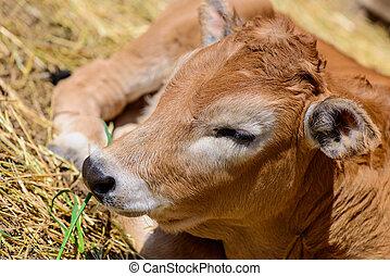 calf cow in farm