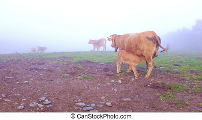 Calf drinking milk from mother cow in the countryside from...