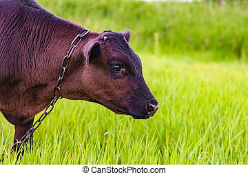 Calf grazes on a green meadow - Photo calf grazes on a green...