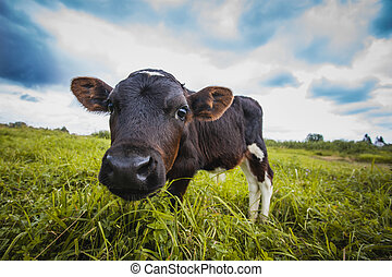 calf grazing on the meadow - brown and white calf is grazing...