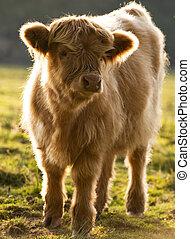 Calf - Highland cattle calf in evening light