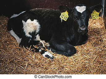 Calf in a cowshed on a dairy farm.