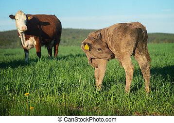 calf in rural landscape