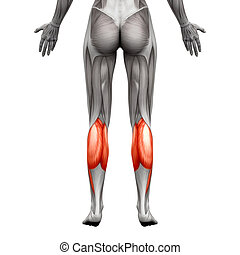 Calf Muscle - Gastrocnemius, Plantar Anatomy Muscle - isolated on white - 3D illustration