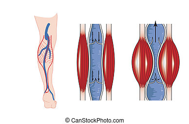 Calf muscle pump - Drawing to show the action of the calf...