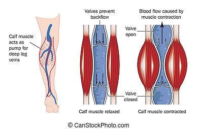 Calf muscle pump - Drawing to show the action of the calf ...