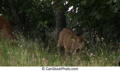 Calf Near Stone Wall