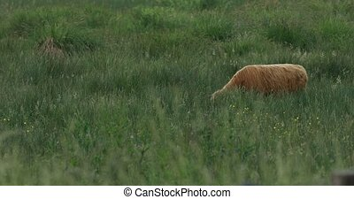 Calf of highland cattle pasturing on meadow. Cow in green...