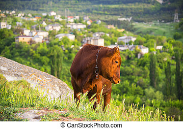Calf on a pasture in the mountains