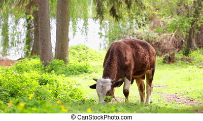 Calf on pasture - Calf grazing in a forest glade