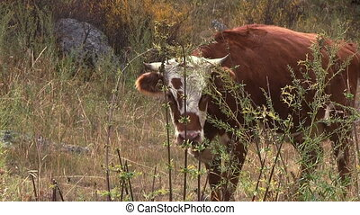 Calf on the pasture