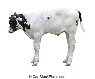 calf on white background