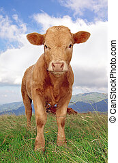 calf staring at the camera with mountains in background