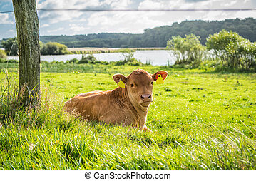 Calf relaxing in the grass - Calf relaxing in the green...
