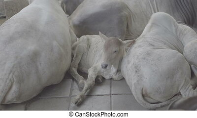 Calf resting between herd of white cows
